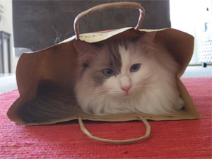 White ragdoll cat sitting inside a paper bag, happily resting