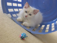 Ragdoll Kitten: Playing In Clothes Basket